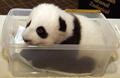 В Китае в домашних условиях родились 27 больших панд