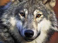Древние волки вымерли от голода