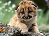 СИТЕС предлагает запретить коммерческое разведение тигров