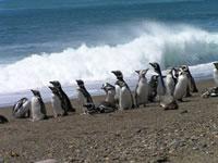 Магеллановы пингвины на отдыхе (фото: E.Skewgar)
