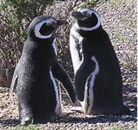 Лишат ли этих пингвинов анчоусов на завтрак? Фото: E.Skewgar