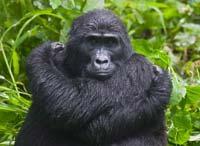 Человек поплатился за «тесные контакты» с гориллами