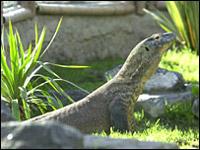 Самка варана - Флора, ещё не познала самца, однако уже оставила