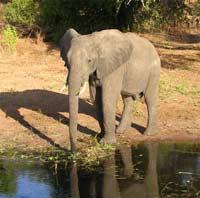 Дикий слон увел возлюбленную из цирка