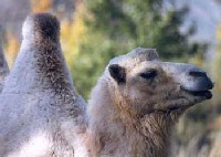 Бешеные верблюды нападают на людей в Австралии
