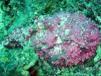 Рыба-камень