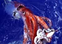 В Антарктике пойман самый большой кальмар за всю историю