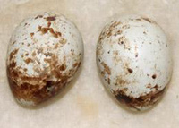 Птичьи яйца изменят стратегию ВОЗ в Африке?