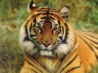 В Китае впервые искусственно оплодотворили маньчжурского тигра