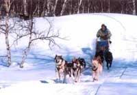 В Тверской области гоняют на собачьих упряжках