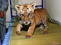 Москвичи спасают дальневосточного тигренка