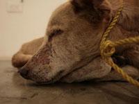 Пса заморили голодом ради искусства