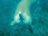 Китайский пресноводный дельфин, известный как байджи