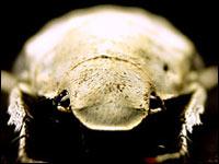 Белый жук ослепил ученых