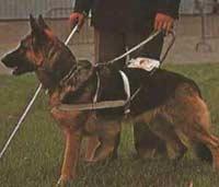Собака-поводырь заменила хозяину глаза и уши