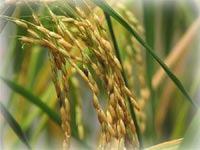 Greenpeace борется с рисом с помощью искусства