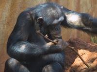 Традиции в мире обезьян
