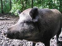 Кабан - предок европейских пород свиней