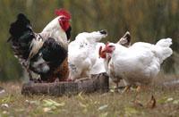 Бельгия загоняет кур и гусей под крышу