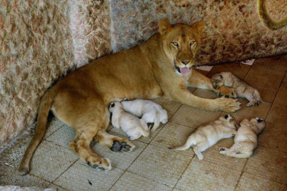 Львица родила пять детенышей в частном питомнике Пакистана
