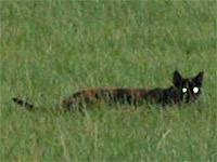 Север Франции терроризирует «кошка Баскервилей» (ФОТО)