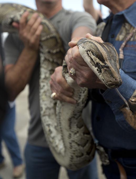 Интересное в мире Во Флориде происходит своеобразное развлечение. Человек использует в качестве милого шарфика гигантского смертоносного бирманского питона. Можете не беспокоиться за жизнь мужчины - питон мертв. Интересное в мире, истории, новости