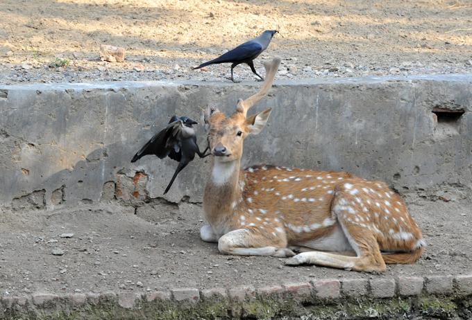 Интересное в мире Раненый пятнистый олень пытается отогнать двух особо назойливых ворон. Животное с одним-единственным рогом решило немного отдохнуть возле рва в своих владениях в зоопарке Нью Дели. Фото All Over Press Интересное в мире, истории, новости