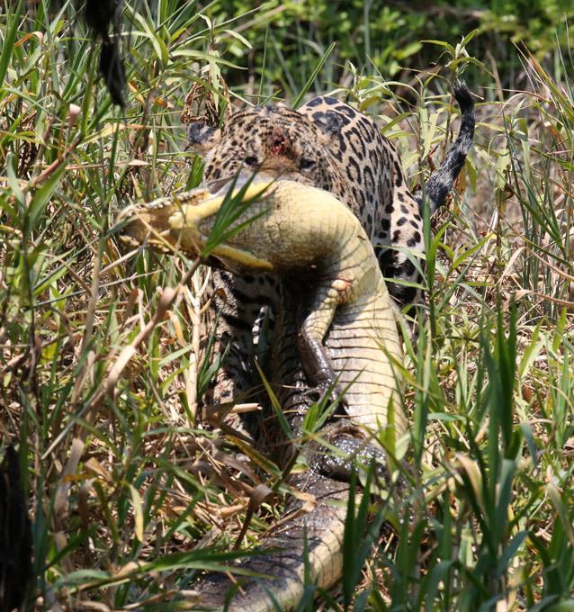 ������� ����� ����� ��� ��� ����������� ������ �������� ����� ������� � �������� ������� � �������� ������������ ������������� ������� � ��������, ������� ���������� �������� (Pantanal). ����� ������ �������