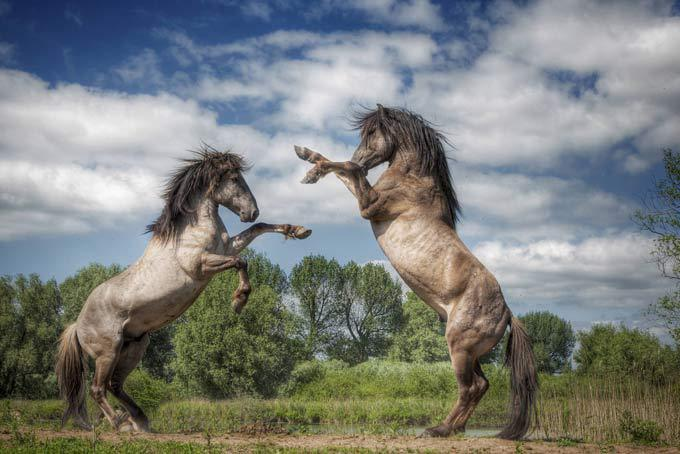 Битва жеребцов Два разъяренных жеребца затевают между собой кровавую битву за право быть вожаком стада диких лошадей. жеребцы, битва, Генри Тон
