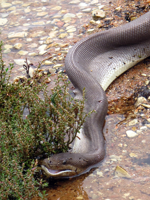 В Австралии питон проглотил крокодила Фотограф Тиффани Корлис запечатлела на пленку невероятную схватку между гигантской змеей и крокодилом.  Австралия питон крокодил