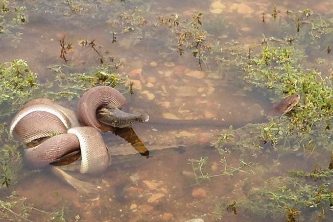 В Австралии питон проглотил крокодила Смертельная схватка между двумя животными произошла на озере Мундарра, в Австралии. Австралия питон крокодил