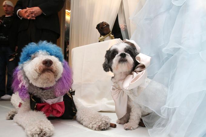 Собачья свадьба за $158000 В нью-йоркском отеле Нью-Йорка вчера сыграли пышную свадьбу двоих собак.  Читайте: Интересное за неделю: собачья свадьба попала в книгу Гиннесса свадьба,собаки,рекорд Гиннеса
