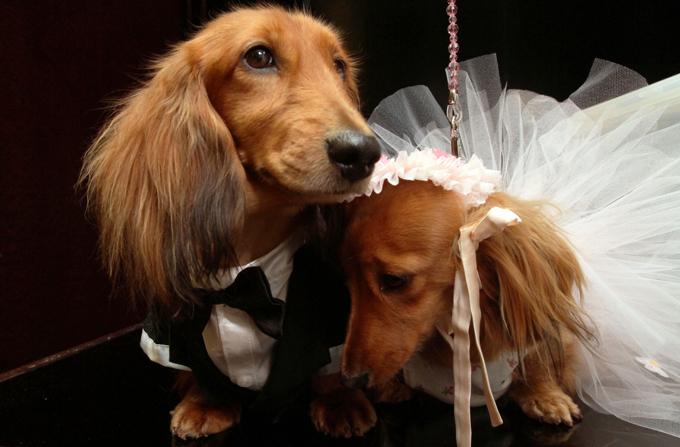 Собачья свадьба за $158000 Средства на мероприятие были предоставлены рядом спонсоров, однако Венди превратила главный день в жизни Baby Hope в благотворительное мероприятие.  Читайте: Интересное за неделю: собачья свадьба попала в книгу Гиннесса свадьба,собаки,рекорд Гиннеса