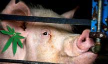 В Австралии полицейские задержали свинью за поедание конопли