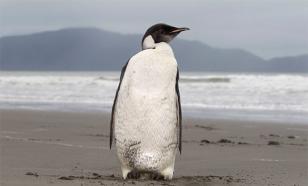Знаменитые желтоглазые пингвины вымрут к 2060 году