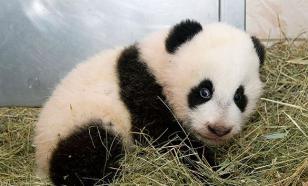 Ученые: Панды перестали вымирать