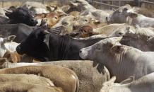 Белорусский зубр начал жить с коровами