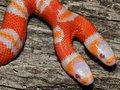 Чудо-змея с двумя головами родилась в США (+фото)