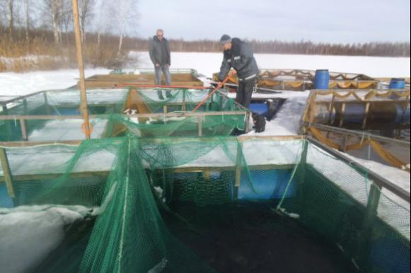 Ярославский предприниматель Михаил Атаманов планирует разводить сиговых рыб для Пошехонского рыбозавода