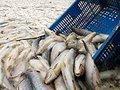 В рыбных портах -  рыба , как в домино?