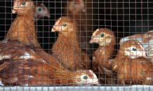 Что появилось раньше курица или яйцо? Найден ответ на вечный вопрос