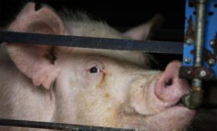 Свиноводческое хозяйство тонет. Что делать?