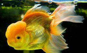 Британец владеет самой большой золотой рыбкой