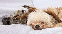 Собака по кличке Поппи подружилась с сурикатом Тимоном.
