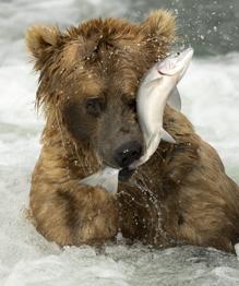 Гризли на рыбалке