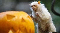 Хэллоуин в этом году отмечают не только прогрессивное человечество, но и братья наши меньшие. В частности, Ленинградский зоопарк 26 октября отпразднует Хэллоуин кормлением животных, интерактивными программами и выставками.