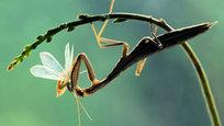 Богомол - одно из самых красивых насекомых на Земле. И самое совершенное орудие убийства.
