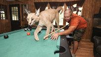 Карл Бовард (Carl Bovard) обожает крупных кошек. У себя дома он держит шесть тигров и двух львов. Карл осознает, что каждый раз, играя со своими кошечками, он играет со смертью.