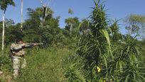 Правительство Парагвая при помощи спецназа ведет неравную борьбу с индейцами по сокращению плантаций марихуаны.