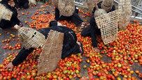 В индонезийском городе Лембанге (Lembang) разразилась традиционная томатная война. Несмотря на участие в баталиях местных фермеров, фронтовые сводки идут не с полей сражений, а с городских улиц.